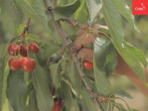 Cosecha de cerezas | Toolkit | Marca Chile