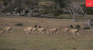 Guanacos en Patagonia   Toolkit   Marca Chile