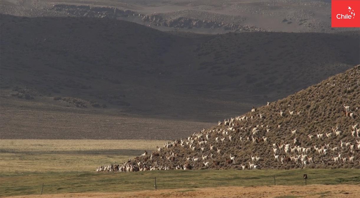 Llamas pastando en bofedales del Altiplano   Toolkit   Marca Chile